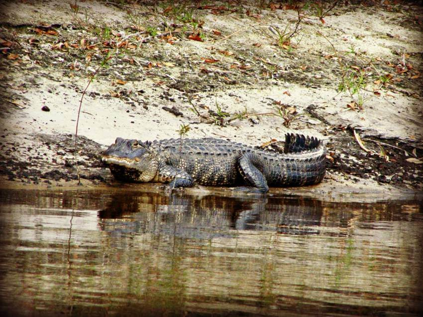 Alligator on the bank of the Peace River in Florida