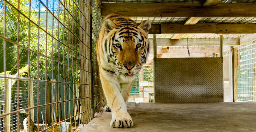 Tiger at Wooten's Animal Sanctuary in Naples, Florida.