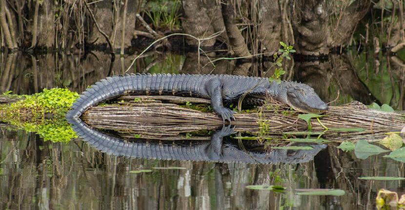 Alligator resting on log in pond at Six Mile Cypress Slough Preserve in Fort Myers, Florida.